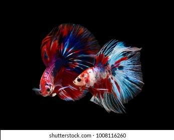 Multi color Siamese fighting fish(Rosetail)(Half Moon),fighting fish,Betta splendens,on black background,Betta Fancy Koi Half Moon Plakat