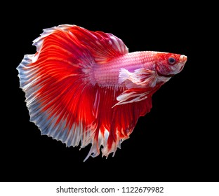 Multi color Siamese fighting fish(Rosetail)(half moon),Betta splendens,on ฺblack background with clipping path,Pink Dumbo Halfmoon