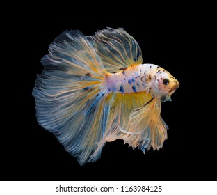 Multi color Siamese fighting fish(Rosetail)(half moon),Yellow Betta splendens,on black background with clipping path