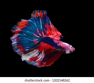 Multi color Siamese fighting fish(Rosetail)(half moon),fighting fish,Betta splendens,on black background with clipping path