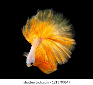 Multi color Siamese fighting fish(Rosetail)(half moon),fighting fish,Yellow Betta splendens,on black background with clipping path