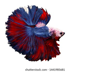 Multi color Siamese fighting fish(Rosetail)(half moon),fighting fish,Betta splendens,on white background with clipping path
