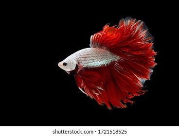 Multi color Siamese fighting fish(Rosetail)(halfmoon), red dragon fighting fish,Betta splendens,on black background with clipping path