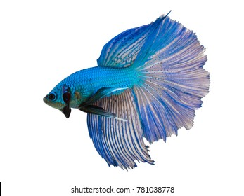 Multi color Siamese fighting fish(Rosetail-halfmoon),fighting fish,Betta splendens,on white background,Double Tails