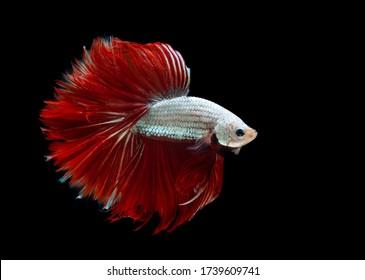 Multi color Siamese fighting fish(Rosetail)(halfmoon),red dragon fighting fish,Betta splendens,on black background