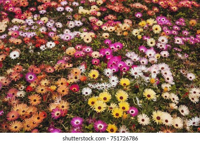 Multi Colored African Livingstone Daisies