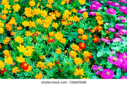 multi colored cosmos flowers background