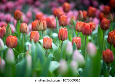 Multi colored fresh tulips at garden