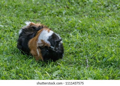 multi colored guinea pig