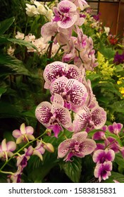 Multi colored Phalaenopsis or Moth Orchids