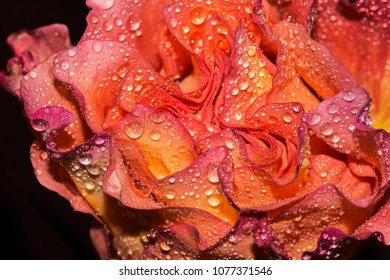 Multi colored rose flower with water droplets on petals, close up.