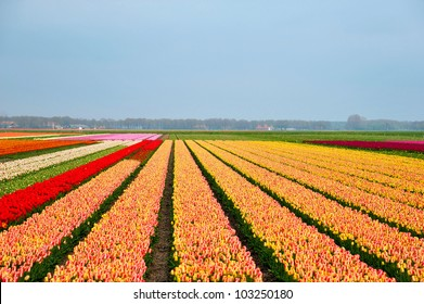 Multi colored tulip field in the Netherlands
