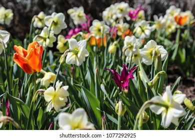 multi colored tulips and daffodil flowers