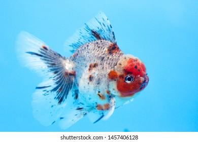 Imágenes, fotos de stock y vectores sobre Oranda Goldfish | Shutterstock