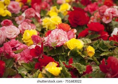 Multi Colour Begonia Flowers