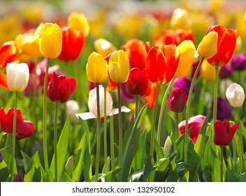 Multi coloured tulips and daffodils on nature background