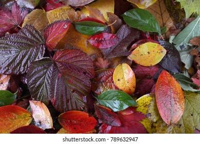 Multicolor autumn leaves
