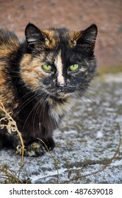 multicolor cat with green eyes