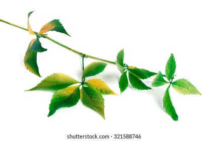 Multicolor grapes leaves (Parthenocissus quinquefolia foliage). Isolated on white background.