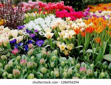 Multicolor holland tulips flowers field farm - pink, purple, white, orange colorful tulip flowers in holland greenery. Colorful holland tulips background pattern texture spring flowers for womans day.
