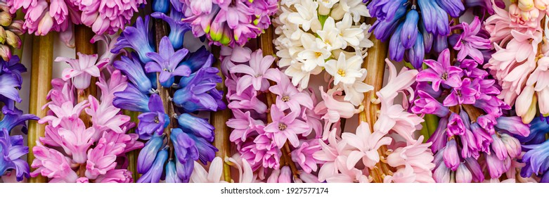 Multicolor hyacinth flowers collection. Spring hyacinths blossom. Multicolored mixed blooms of Hyacinth Orientalis, banner