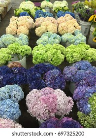 Multi-color Hydrangea waiting to be sold at the Los Angeles Flower Mart