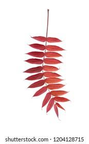 multicolor leaves of sumac tree