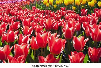 Multicolor natur dream tulip, Spring nature background of flowers tulips field