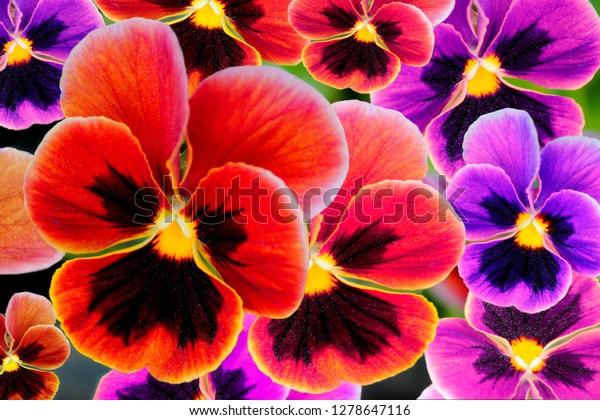 Multicolor Pansy Flowers Pansies Viola Heartsease Stock Photo Edit Now 1278647116