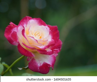 The multicolor Reddish to yellow white Rose makes our eyes fills lovely