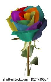 Multicolor rose flower on white background