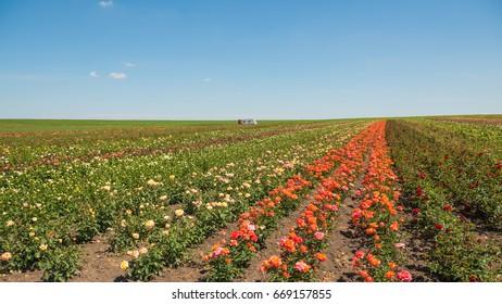 multicolor roses on summer farm field