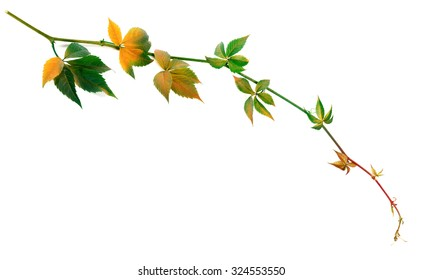 Multicolor twig of grapes leaves, parthenocissus quinquefolia foliage. Isolated on white background.