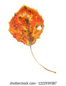 Multicolored autumn aspen leaf. Autumn leaves of aspen isolated