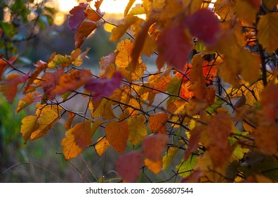 Multicolored autumn dressed in hawthorn leaves. Hawthorn leaves take on different colors in the fall. They can be used for cooking decoctions that lower blood pressure.