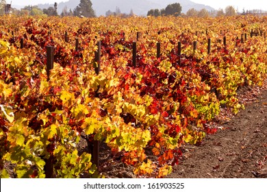 Multi-colored Autumn Grape Vines