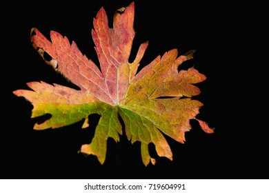 multi-colored autumn leaf on a dark background close-up abstract background
