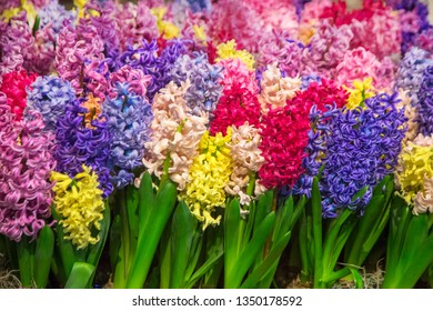 Multicolored bright spring hyacinths flowers. Colorful spring flower background. Hyacinths of all colors of the rainbow.