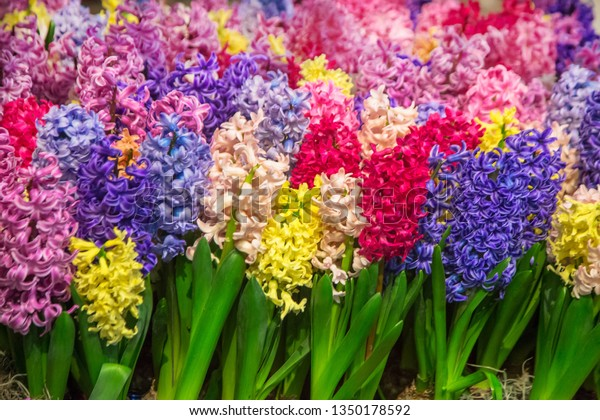 Multicolored Bright Spring Hyacinths Flowers Colorful Stock Photo