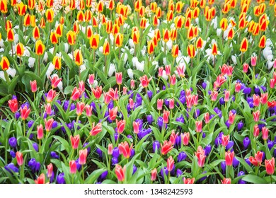 Multicolored bright tulips and crocus spring flowers. Colorful spring flower background.