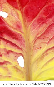 multicolored cabbage leaf in autumn