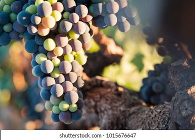 Multicolored Cabernet Franc grapes on vine in evening light closeup.