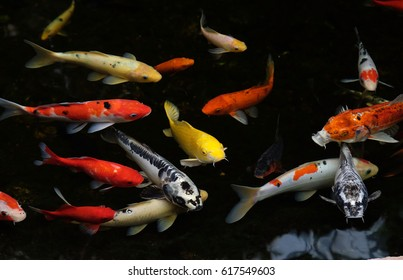 Multicolored carp koi swim in a pond  (Lat.- Cyiprinus caprio coi)