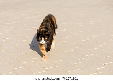A multi-colored cat walks along the road