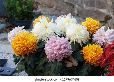 Multicolored chrysanthemum plant on a tombstone for All Saints Day