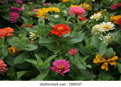 multi-colored dahlias
