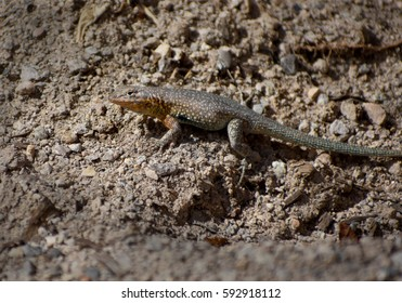 multicolored desert lizard