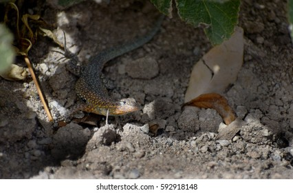 multicolored desert lizard hiding under garden plant