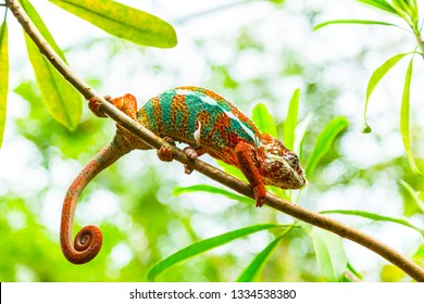 Multicolored exotic cameleon on the branch in the rainforest