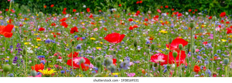 Multicolored flowering summer meadow with red pink poppy flowers, blue cornflowers.  Wild summer flowers field. Summer landscape background with beautiful flowers. Banner